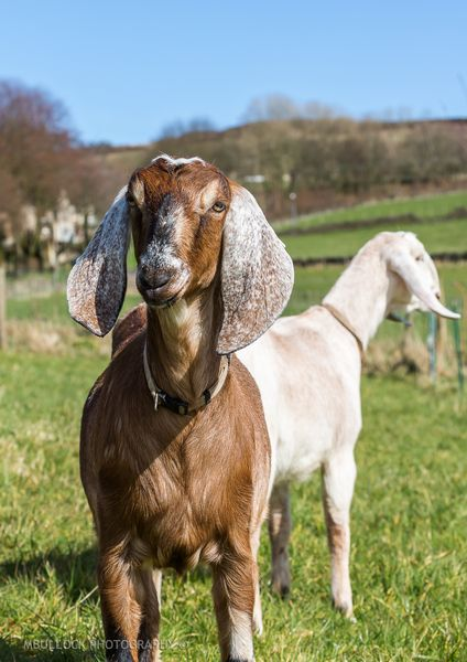 Anglo Nubian Goats Yorkshire