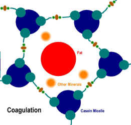 coagulation-of-cheese-rennet