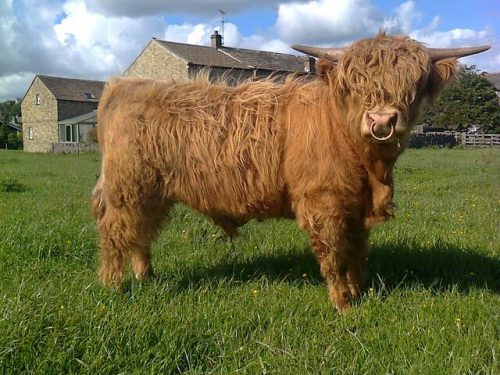 Hellifield highland beef