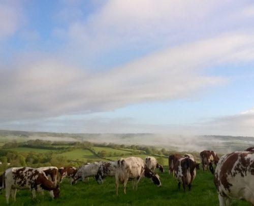 Holden Farm - Ayrshire Cows Cheese
