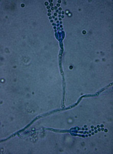 penicillium roqueforti mould