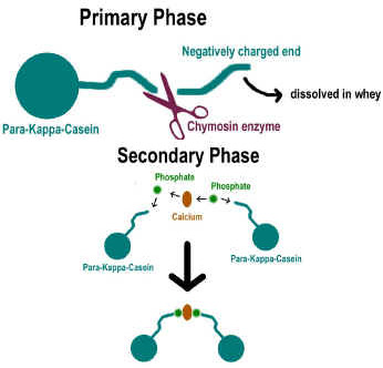 Science rennet coagulation how does it