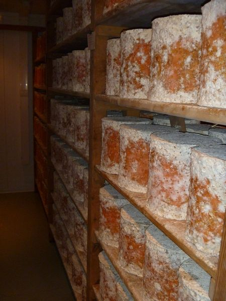 Stichelton cheese maturing