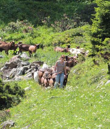 Tarentais herding goats