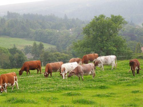 Dairy Shorthorn Cows