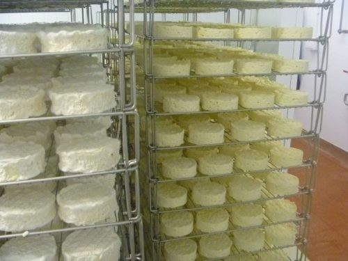 Tunworth camembert cheese maturing