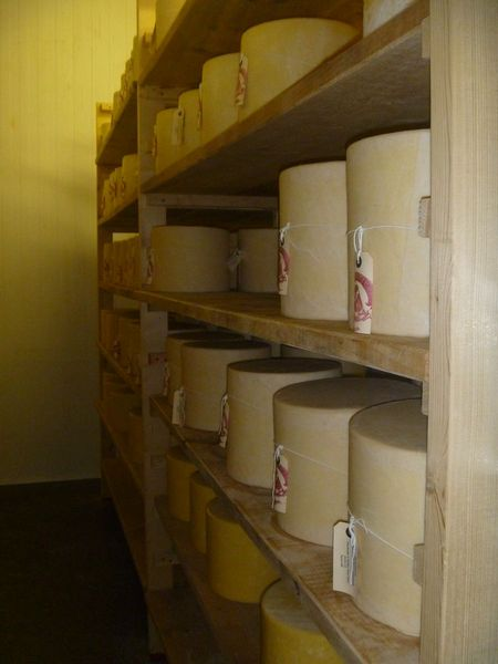 Young hafod cheddar maturing